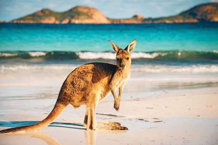 ver canguros en playa de Sídney
